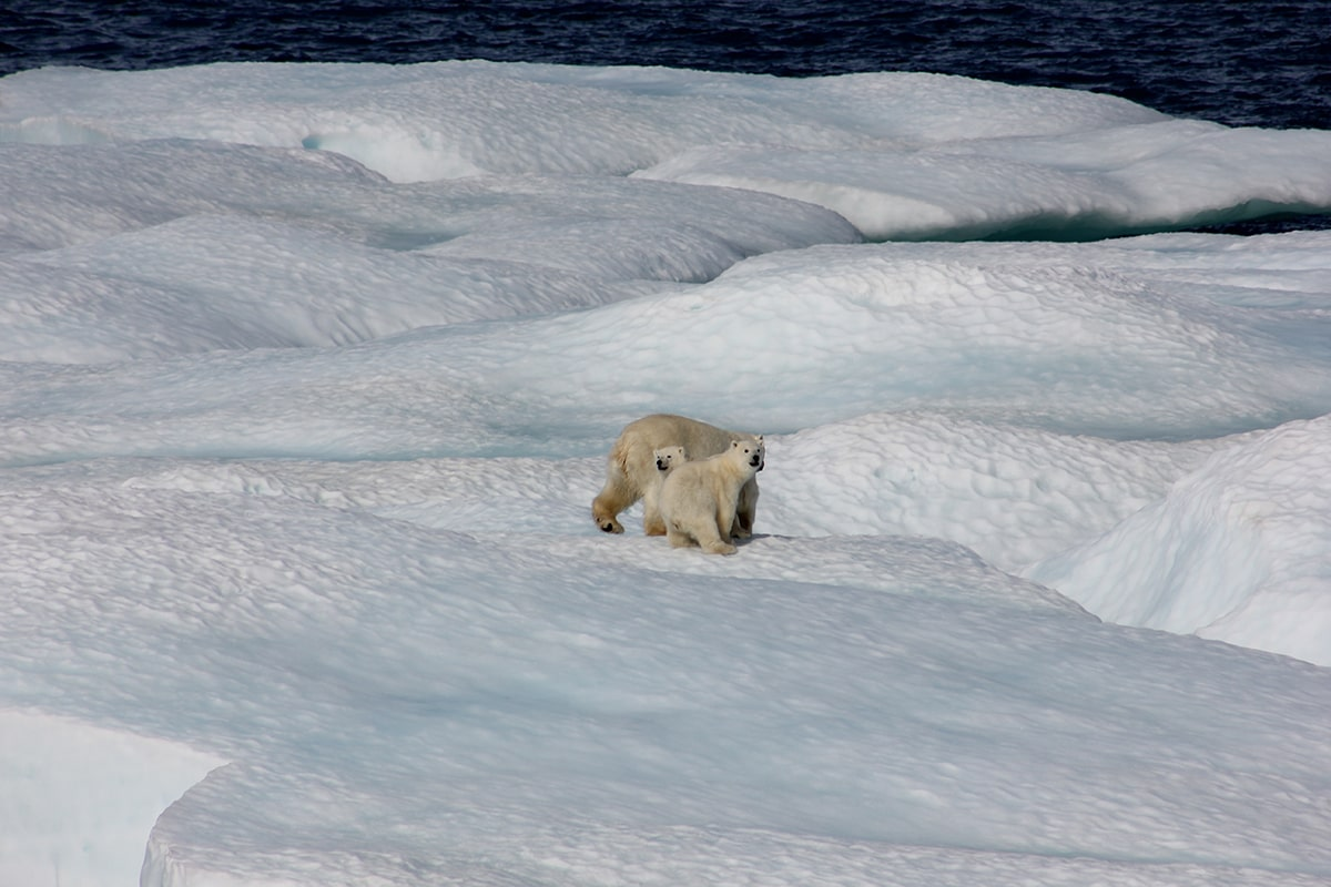 climate change | bears on floe | global temperature | environment | Ipsos